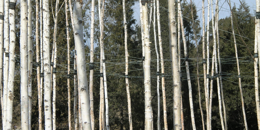 http://lplusa.net/wp-content/uploads/2012/10/7-Birches-with-overhead-guying.jpg